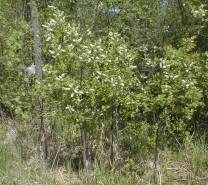 Prunus virginiana (Choke Cherry)
