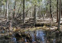 Temporary Pool in Cedar Swamp