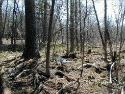 Mixed Hardwood Swamp south of the Lab