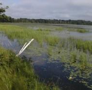 Zizania (Wild Rice) crop in July
