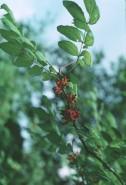 Zanthoxylum americanum (Prickly Ash)