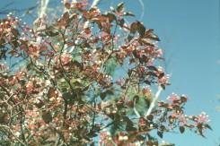 Cornus foemina v. racemosa (Graybark Dogwood)