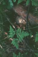 Gymnocarpium dryopteris (Oak Fern)