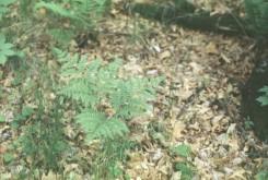 Pteridium aquilinum (Bracken Fern)