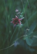 Potentilla palustris (Marsh Cinquefoil)