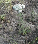 Achillea millefolium (Wooly Yarrow)