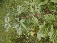 Rubus allegheniensis (Common Blackberry)