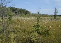 Sphagnum Tamarack Swamp