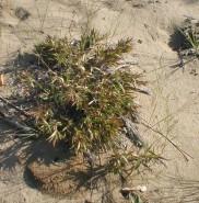 Panicum lanuginosum? (Hairy Panic Grass)
