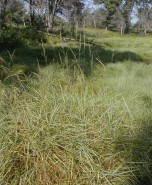 Calamagrostis canadensis (Canada Bluejoint)