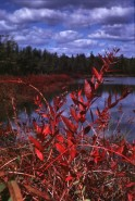 Decodon verticillata (Swamp Loosestrife) in brilliant fall foliage lines the perimeter of Cedar Bog Lake