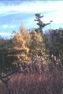 Minerotrophic Tamarack Swamp Golden Tamarack and Tall Reed Grass (Phragmites) near Cedar Bog Lake