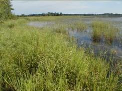 Leersia along west shore of Fish Lake