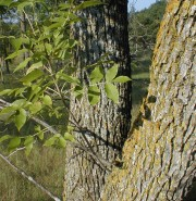 Fraxinus pennsylvanica (Green Ash)