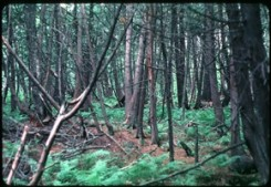 White Cedar Swamp (Thuja occidentalis) surrounds Crone's Knoll on the approach to Cedar Bog Lake
