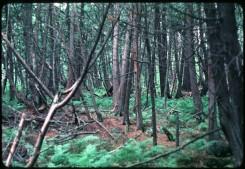 White Cedar Swamp Thuja occidentalis surrounds Crone's Knoll on approach to Cedar Bog Lake