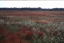 Field E, a recently abandoned (1975) weedy old field. Note abundance of Berteroa, Rumex, and Agrostis.