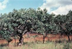 Bur Oak (Quercus macrocarpa) and Indian Grass (Sorgastrum nutans) in Burn Unit south of Fish Lake