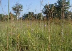 Helen Allison Savanna grasses