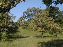 Helen Allison Savanna oaks