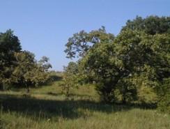Helen Allison Savanna mature oaks