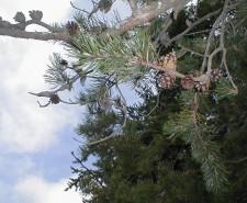 Pinus banksiana (Jack Pine)