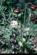 Pitcher Plant (Sarracenia purpurea) in flower along with Labrador Tea (Ledum groenlandicum)
