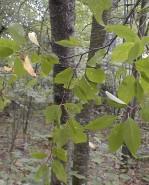 Prunus pensylvanica (Pin Cherry)