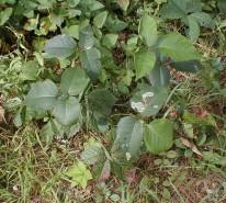Rhus radicans (Poison Ivy)