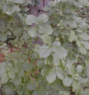 Rhamnus cathartica (Common Buckthorn)