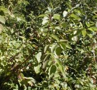 Cornus stolonifera (Red-osier Dogwood)