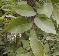 Ulmus rubra (Red Elm)