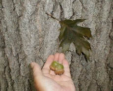 Quercus rubra (Red Oak)  leaves, acorns and bark