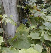 Vitis riparia (Wild Grape)
