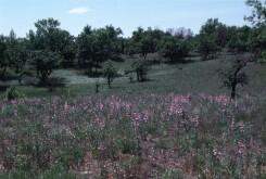 Large-flowered Beardtongue (Penstemon grandiflora) in Helen Allison Savanna