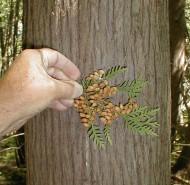 Thuja occidentalis (White Cedar)