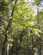 Betula alleghaniensis (Yellow Birch)