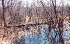 Alder Swamp east of the Lab