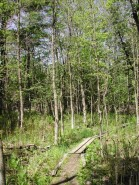 Black Ash Swamp on approach to Cedar Bog Lake