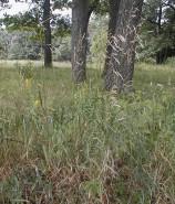 Bromus inermis  (Smooth Brome)
