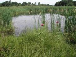 Cattle Pond near Crane House