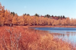 Tamarack foliage turns golden in October