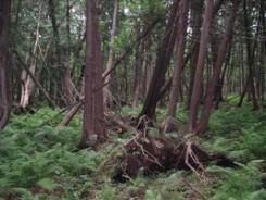 Cedars with Lady Fern