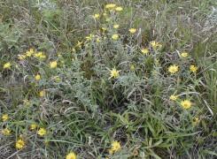 Heterotheca villosa (Golden Prairie Aster)