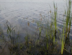Scirpus and Typha
