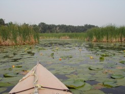 Nuphar luteum (Yellow Pond Lily) and Cattails