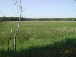 Wiregrass meadow
