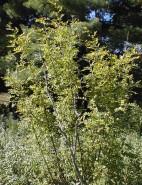 Caragana arborescens  (Siberian Pea)