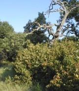Corylus americana (Common Hazel)