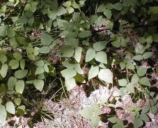 Amphicarpa bracteata (Hog Peanut)
